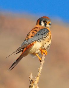 American Kestrel by Bill Gracey