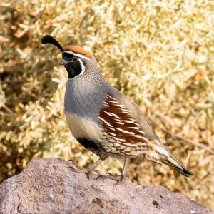 Gambel's Quail male by Mick Thompson